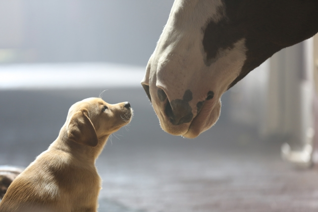 Budweiser 'puppy Love' Named The Best Super Bowl Ad Meter Winner Of All Time photo
