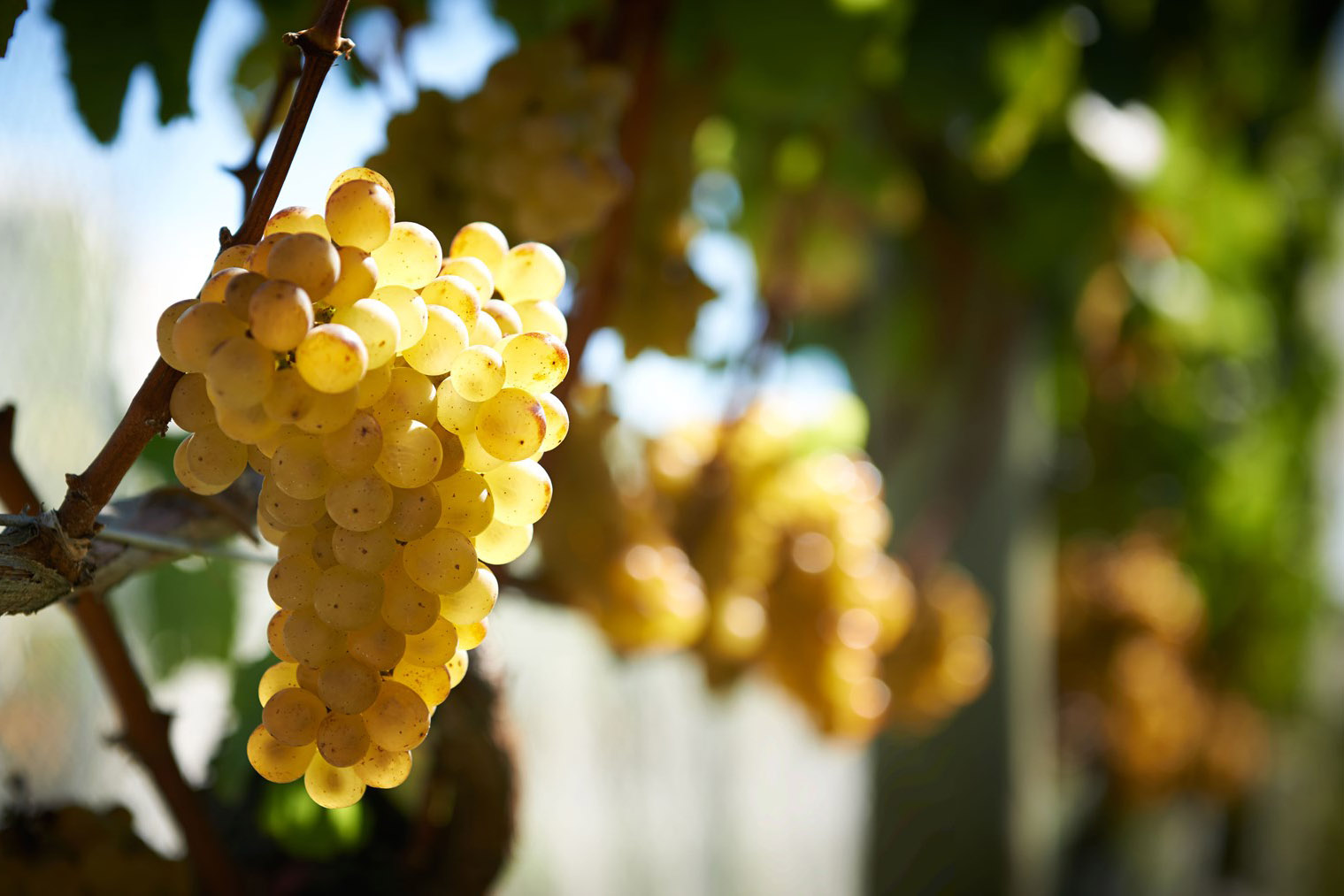 New Zealand Sauvignon Blanc Has A Fresh History photo