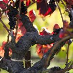 How old is the oldest productive vine in the world? photo