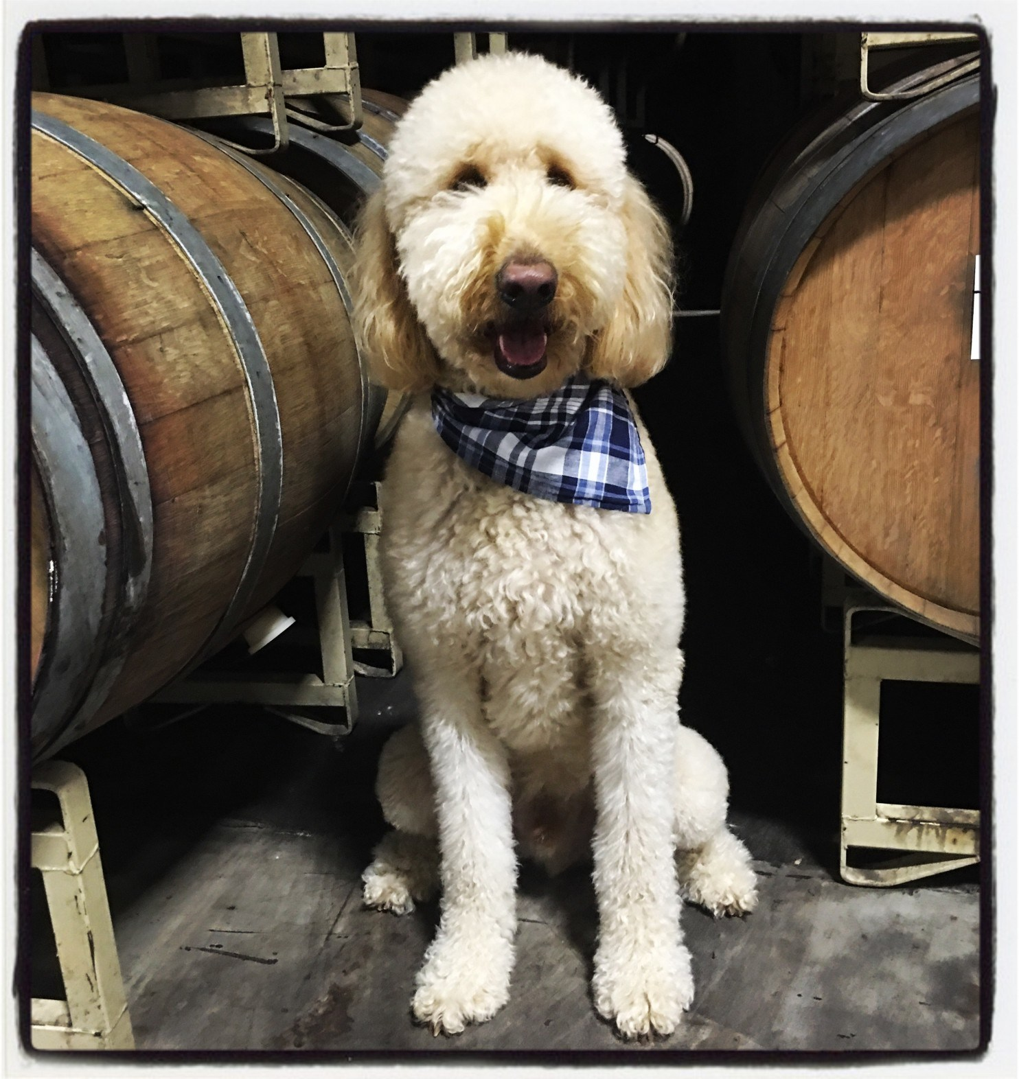 How An 80-pound Goldendoodle Helped Build A California Wine Brand photo