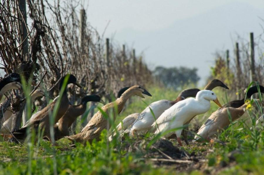 На виноградниках Африки замість пестицидів використовують качок photo