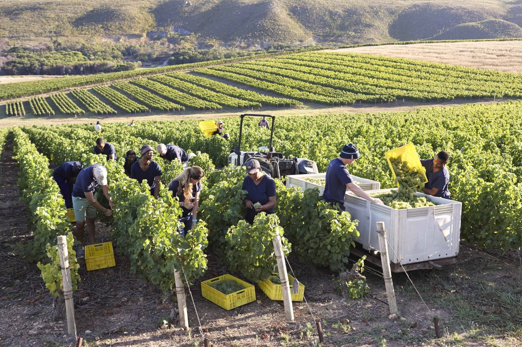 Harvest 2018: The Trade Roll Up Their Sleeves At Bouchard Finlayson photo
