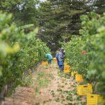 De Wetshof Predicts Healthy Harvest 2018 Despite Heat and Relentless Drought photo
