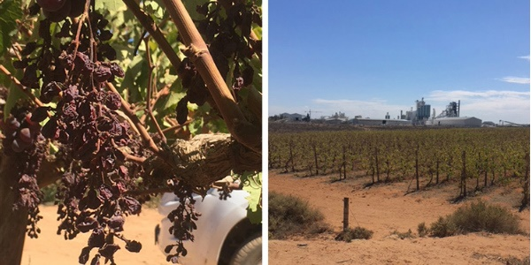 Jobs And Profits Drying Up On Western Cape Grape Farms photo