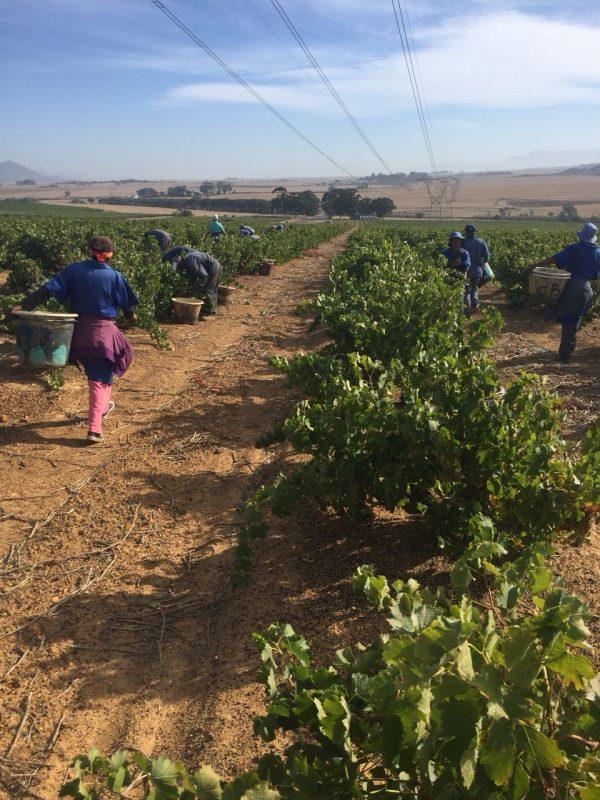 Perdeberg's Barrel Fermented Chenin will triumph in spite of the drought photo