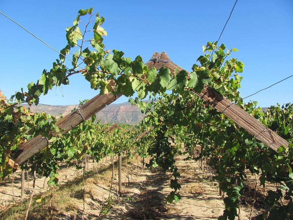 Drink The Old Vines Of South Africa photo