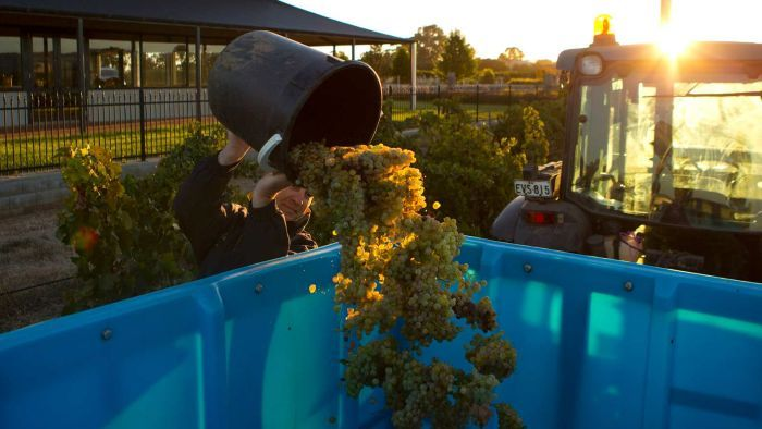 Barossa-harvest-1 photo
