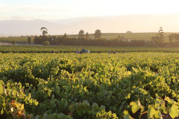 At Bellingham, success begins in the vineyard photo