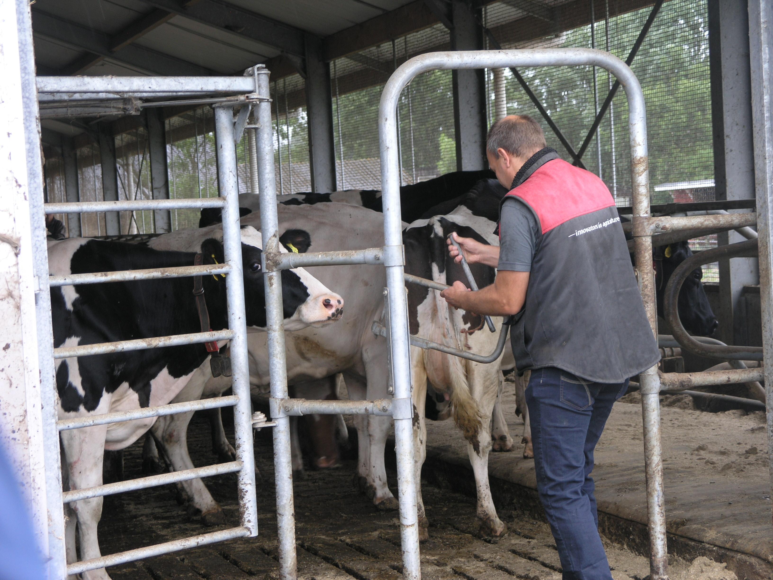 Koeien Elza Hoeve Weer De Wei In photo