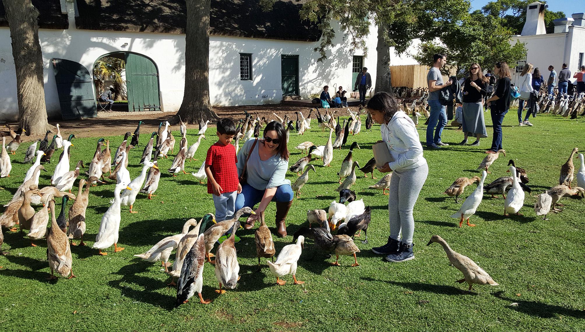 Make Way For The Ducks Of Vergenoegd Löw Wine Estate photo