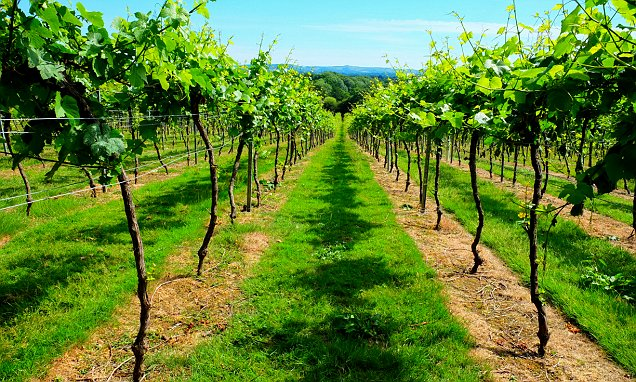 Vintage Year For English Wine As 80 More Vineyards Open photo