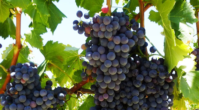 Exceptional growth in Pinotage as South Africa's national grape photo