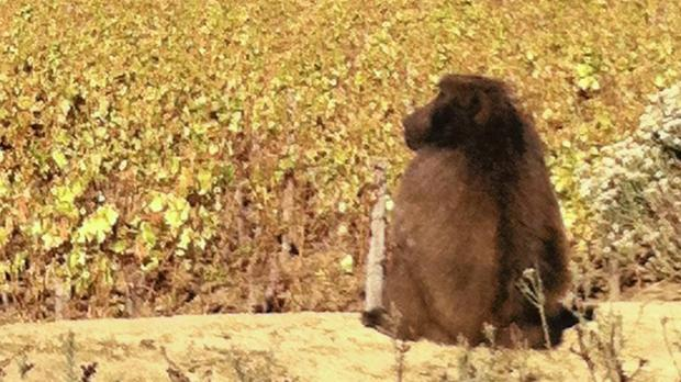 Seven Baboons Killed After City Farms Granted Permits photo