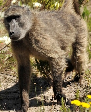 Seven Baboons Killed After Permits Granted To Constantia Farms photo