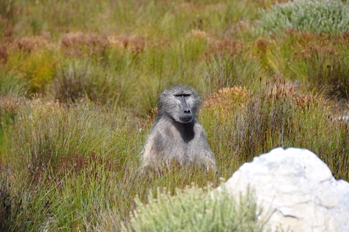 Seven Baboons Killed In Constantia For Raiding photo