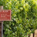 Chenin Blanc – What's not to love? photo