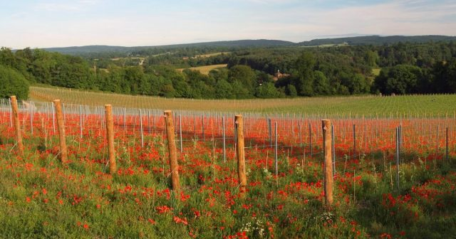 Albury Vineyard To Increase Its Production Of Organic English Wine photo