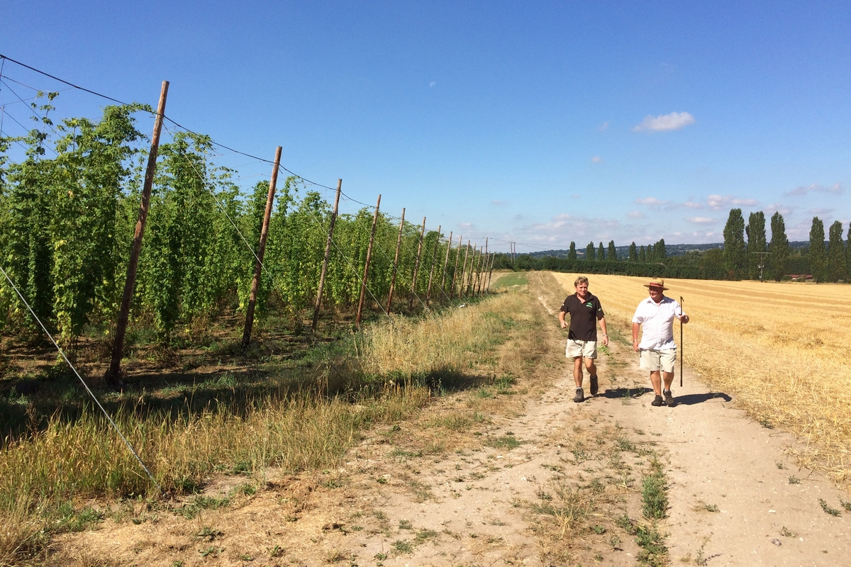 Hogs Back Predicting Quality Hop Harvest ? Beer Today photo