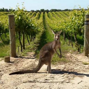 Australia?s Hunter Valley Mulls Kangaroo Cull photo