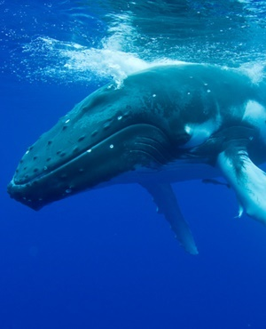 Whale Freed From Anchor, But Rescuers Worry About Her Wounds photo