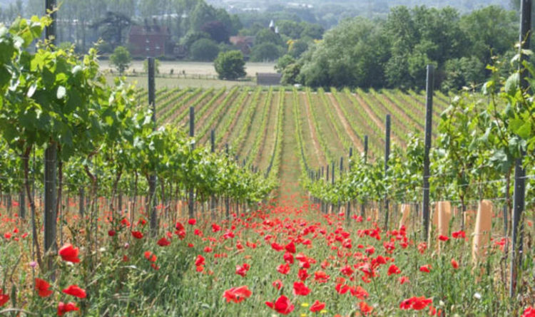 Chateau Blighty: British Vineyards Expect Largest Harvest In History photo