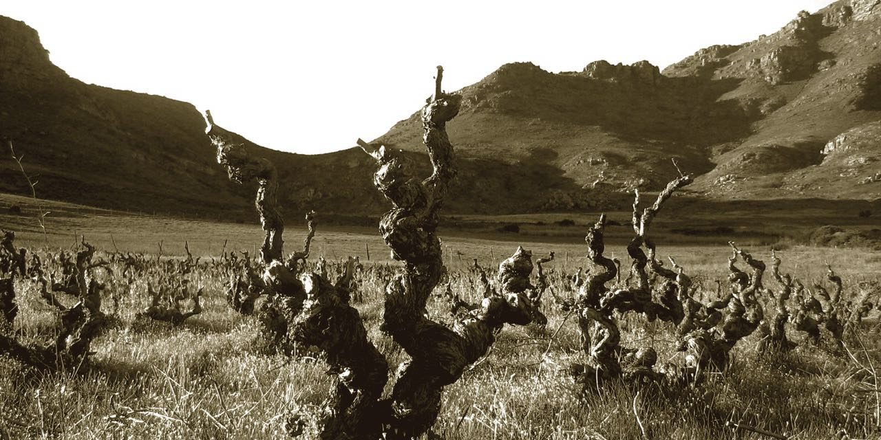 Old Vines A Special Feature Of The South African Wine Industry photo