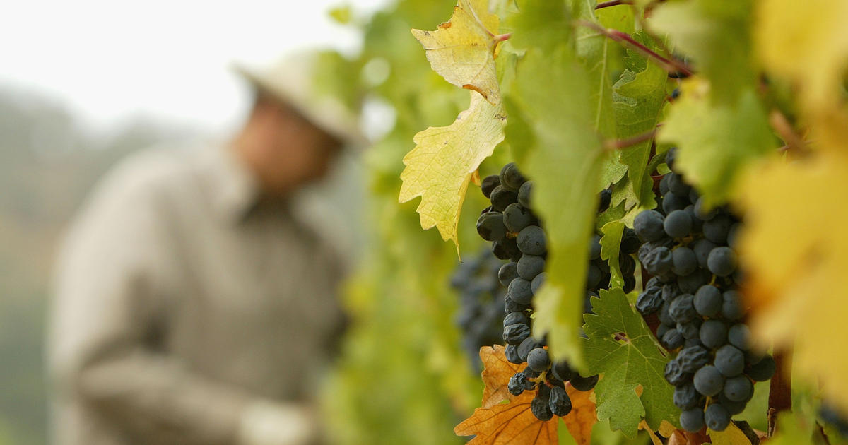 California Vineyards Are Ready For Harvest — But Who'll Pick The Grapes? photo