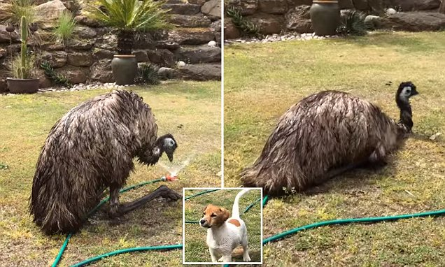 Emu Finds A New Way To Cool Down, But The Dog Is Not Impressed photo