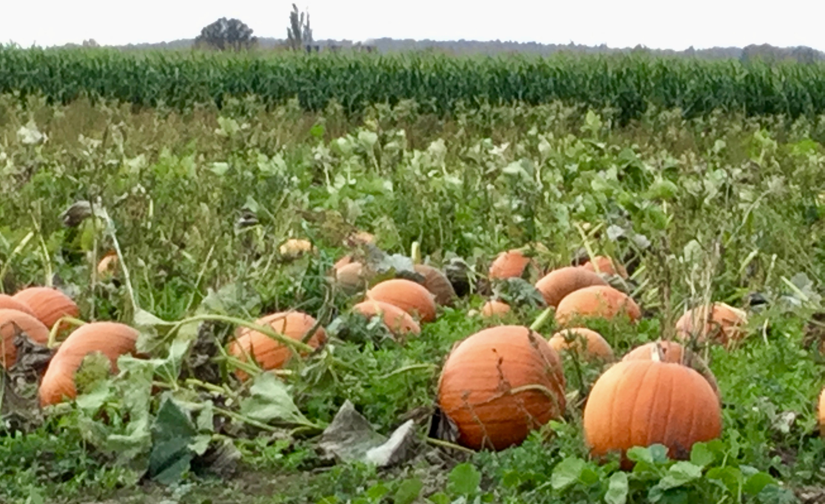 Celebrate Fall With These Bellingham Pumpkin Patches photo
