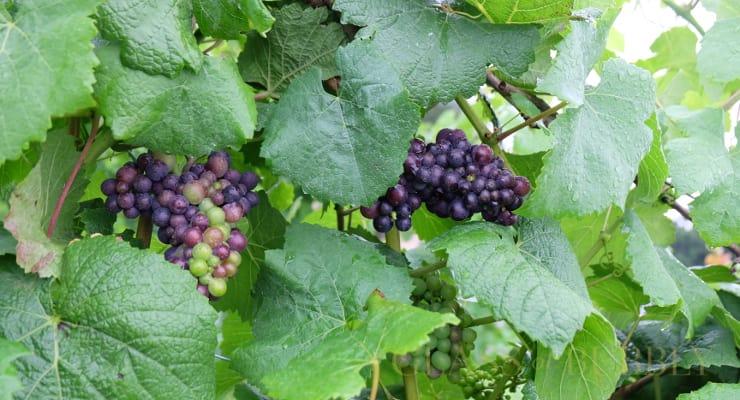 Uk Winemakers Celebrate Harvest Of The Century photo