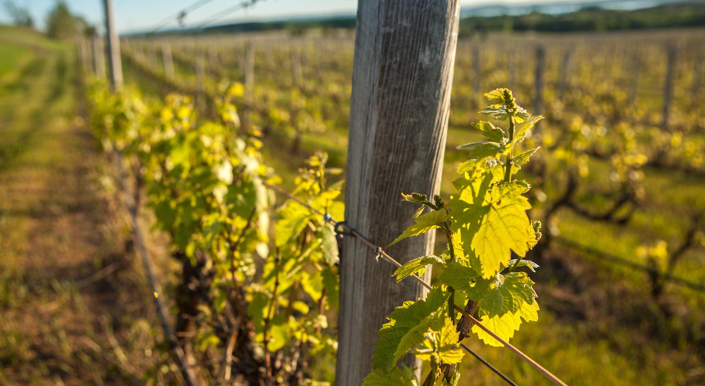 Leelanau Vineyard Wins Favorite Michigan Winery In Statewide Contest photo