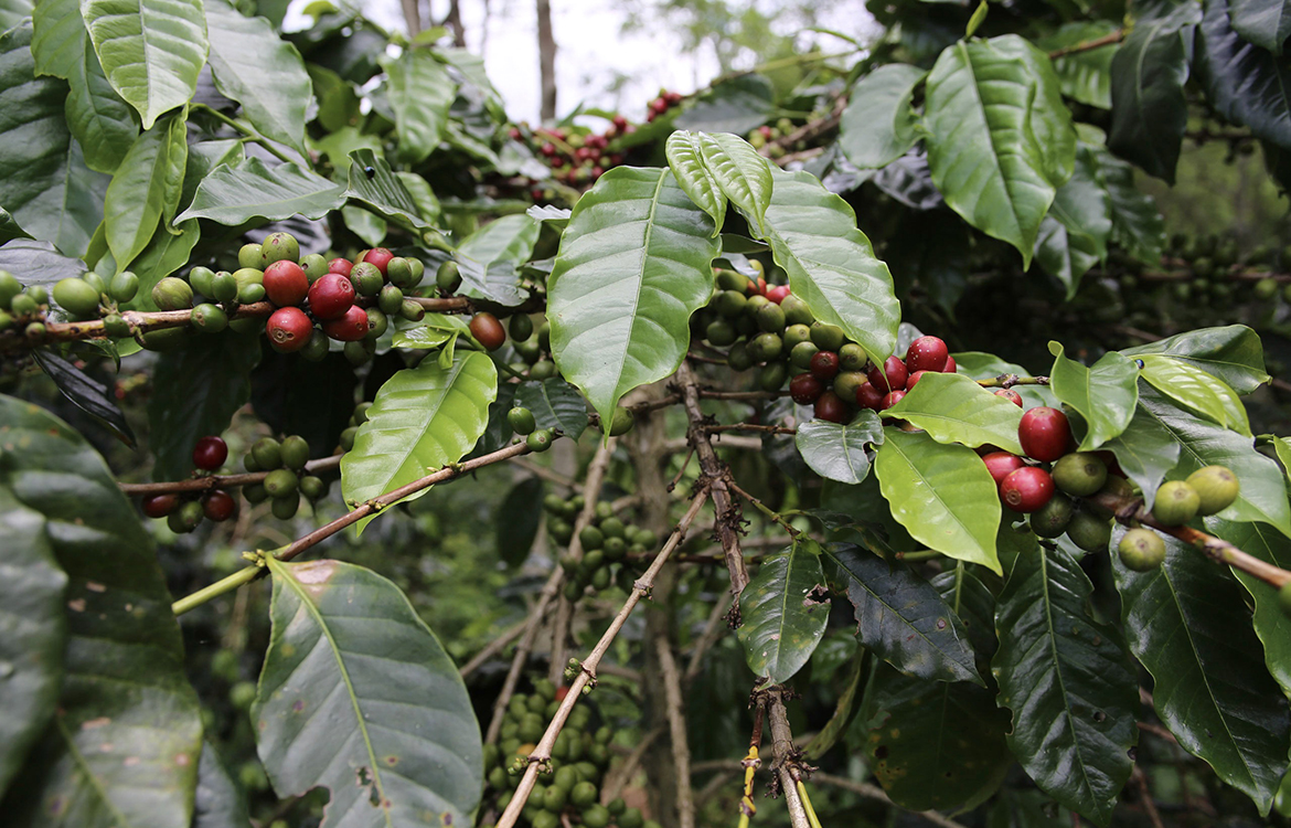 A New Fuel Cell Converts Coffee Wastewater Into Electricity photo