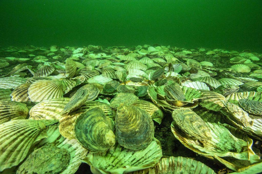 Glenmorangie To Reintroduce Oysters To Dornoch photo