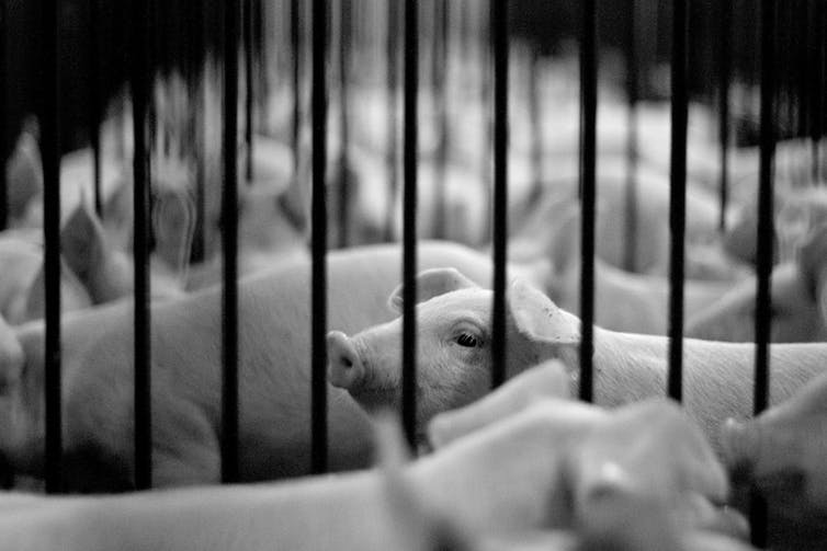 Australians Care About Animals –but We Don't Buy Ethical Meat photo