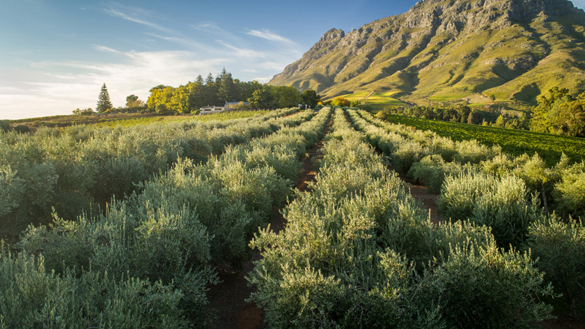 Tokara Olive Oil Crowned Absa Top 10 photo
