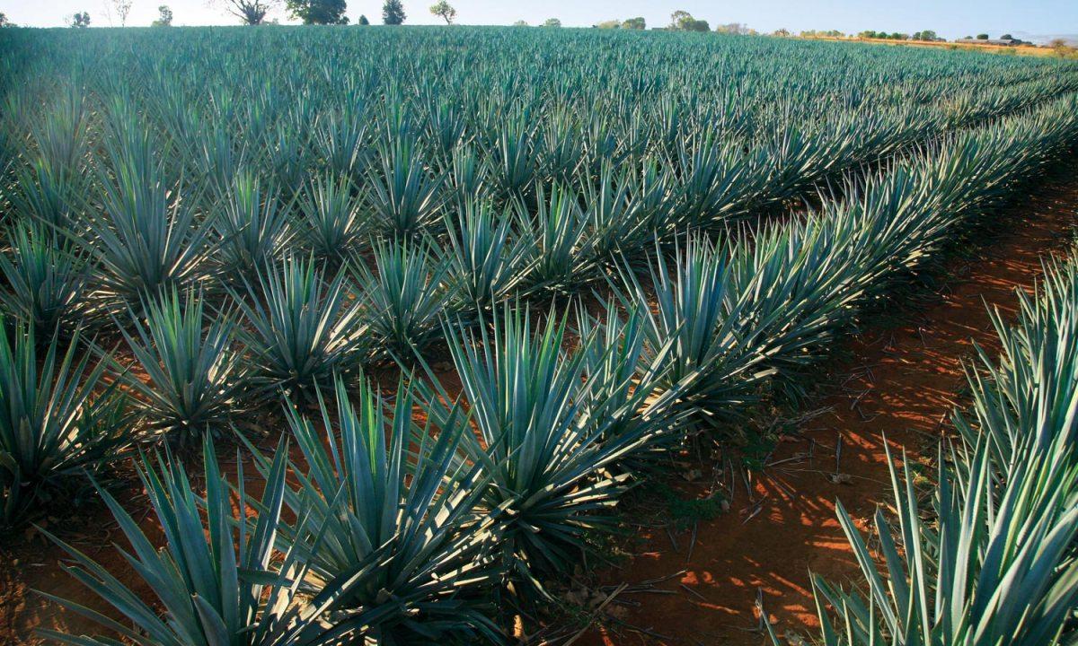 Tequila Producto Importante Para La Economía De México photo