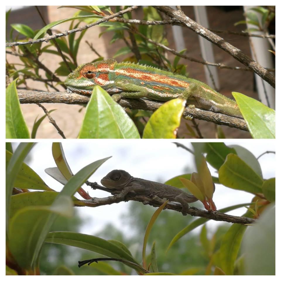 Meet the Cape Dwarf Chameleons of Jordan Wine Estate photo