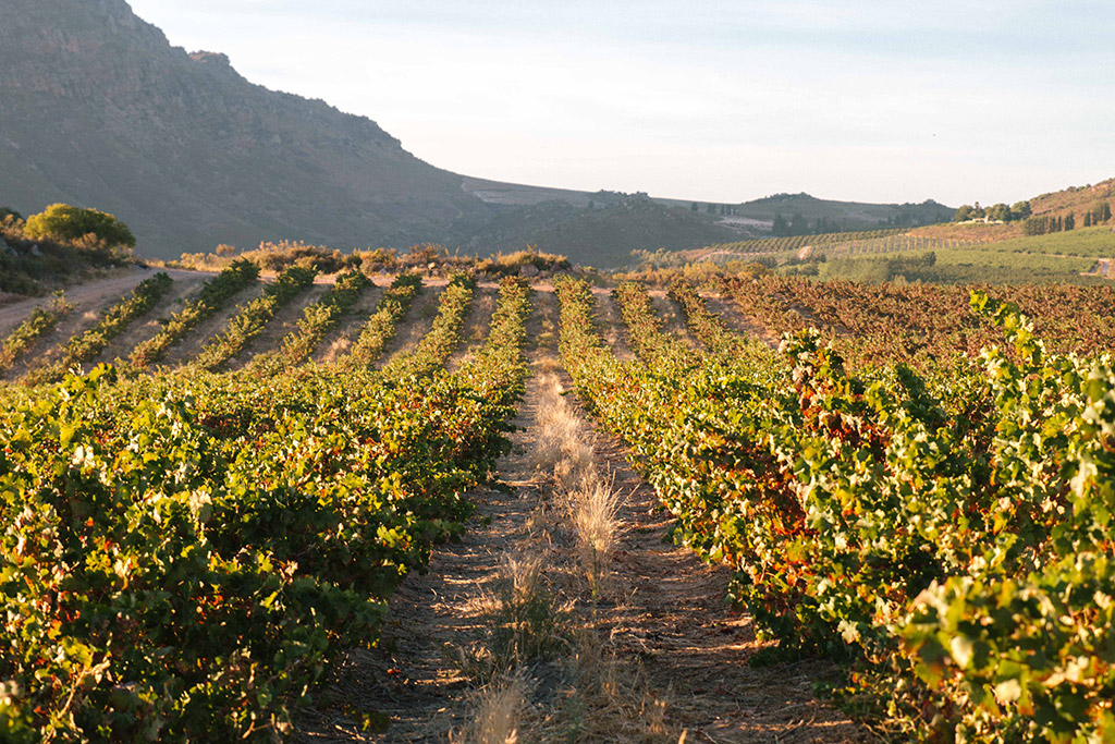 Exploring The Old Vines Of Piekenierskloof photo