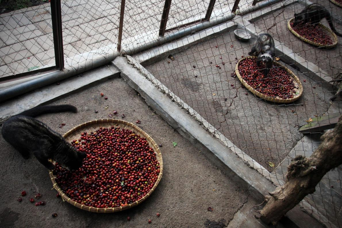 01civets coffee.adapt .1190.1 The Disturbing Truth About The Most Expensive Coffee In The World