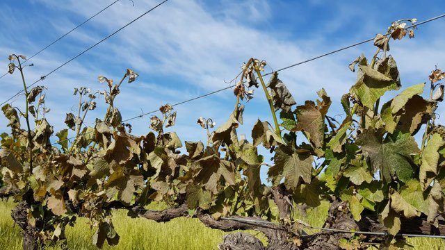 Unseasonal Cold Takes A Heavy Toll On Wa Vineyards photo