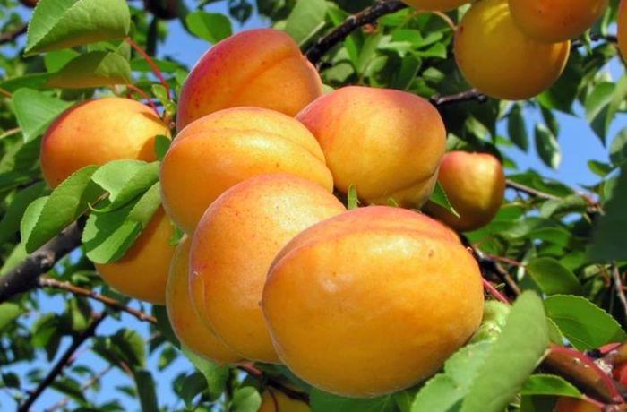 Pick Your Own Grapes, Apricots, & Peaches At De Krans! photo