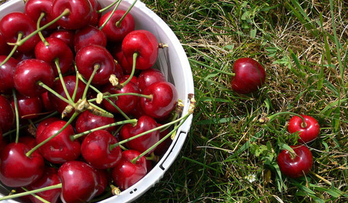 She?s My Cherry Pie: Where To Pick Your Own Cherries In The Cape photo