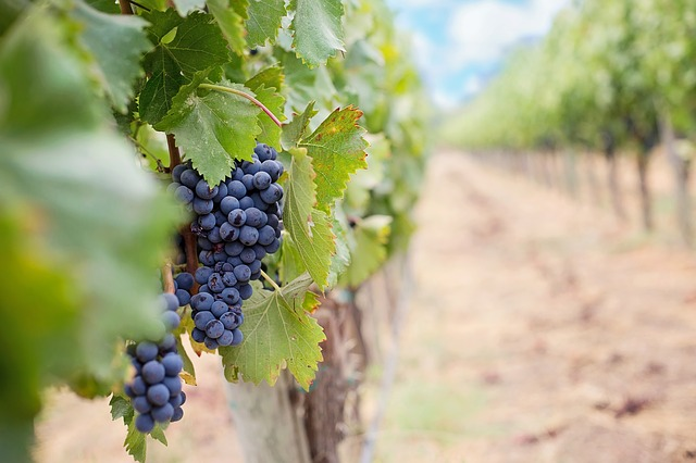 Cape Wineland Vines Finally Recovering From Drought photo