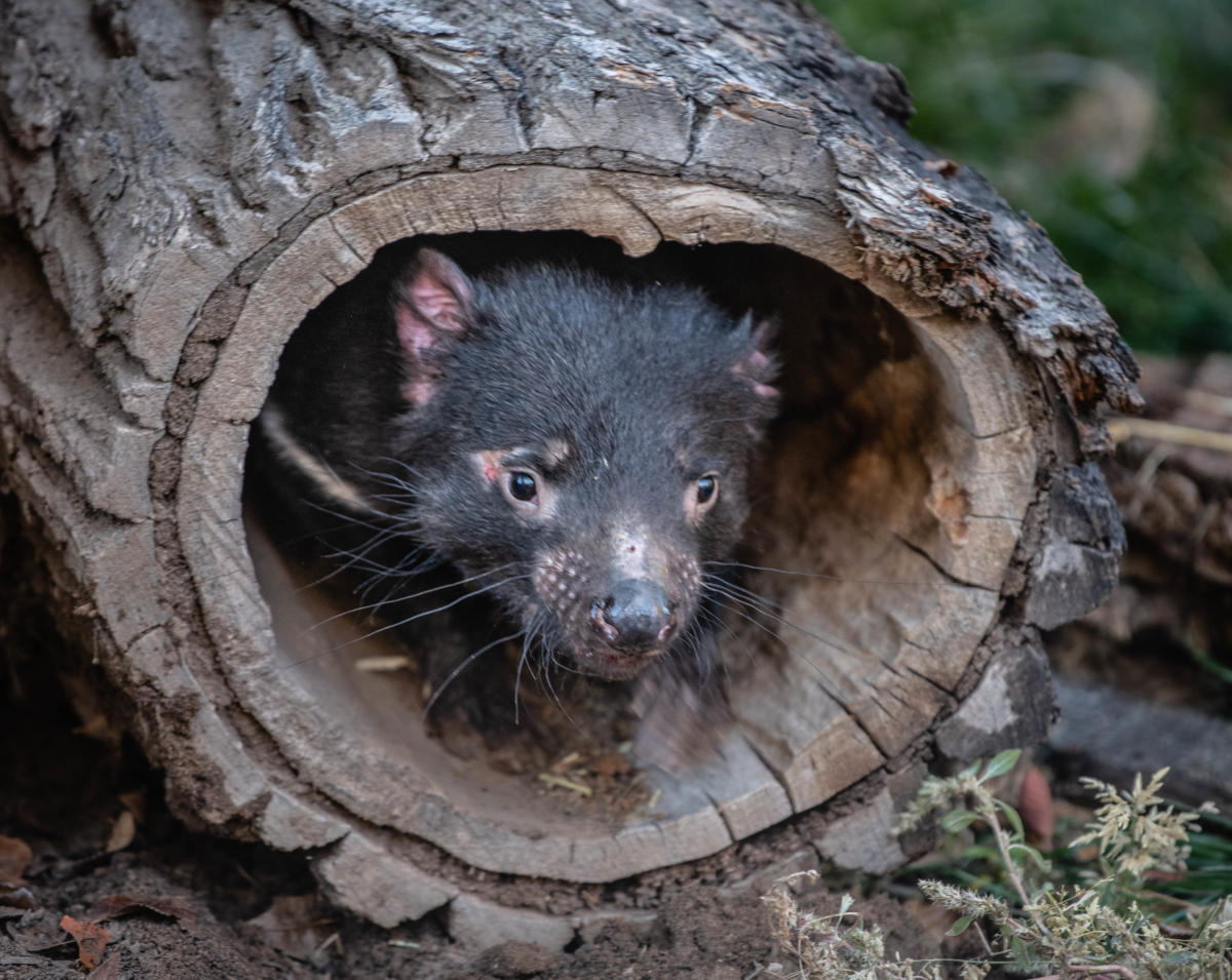 Biopark Zoo Introduces 2 Tasmanian Devils photo