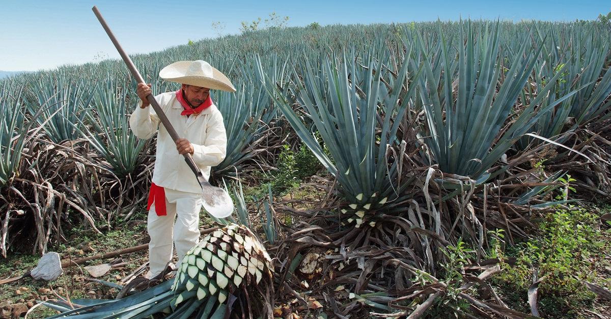 Mexican Tequila Regulators Not A Fan Of Elon Musk?s ?teslaquila? photo