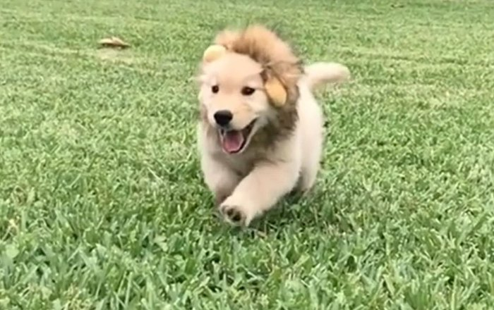 Hear Me Roar: Golden Retriever Cosplays As The Lion King photo