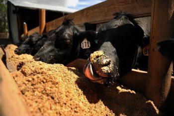 cow spent grain 350x233 The Hidden Risks Of Craft Beer