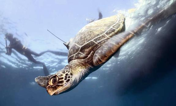 Stress Of Keeping Track Of Rehabilitated Sea Turtles photo