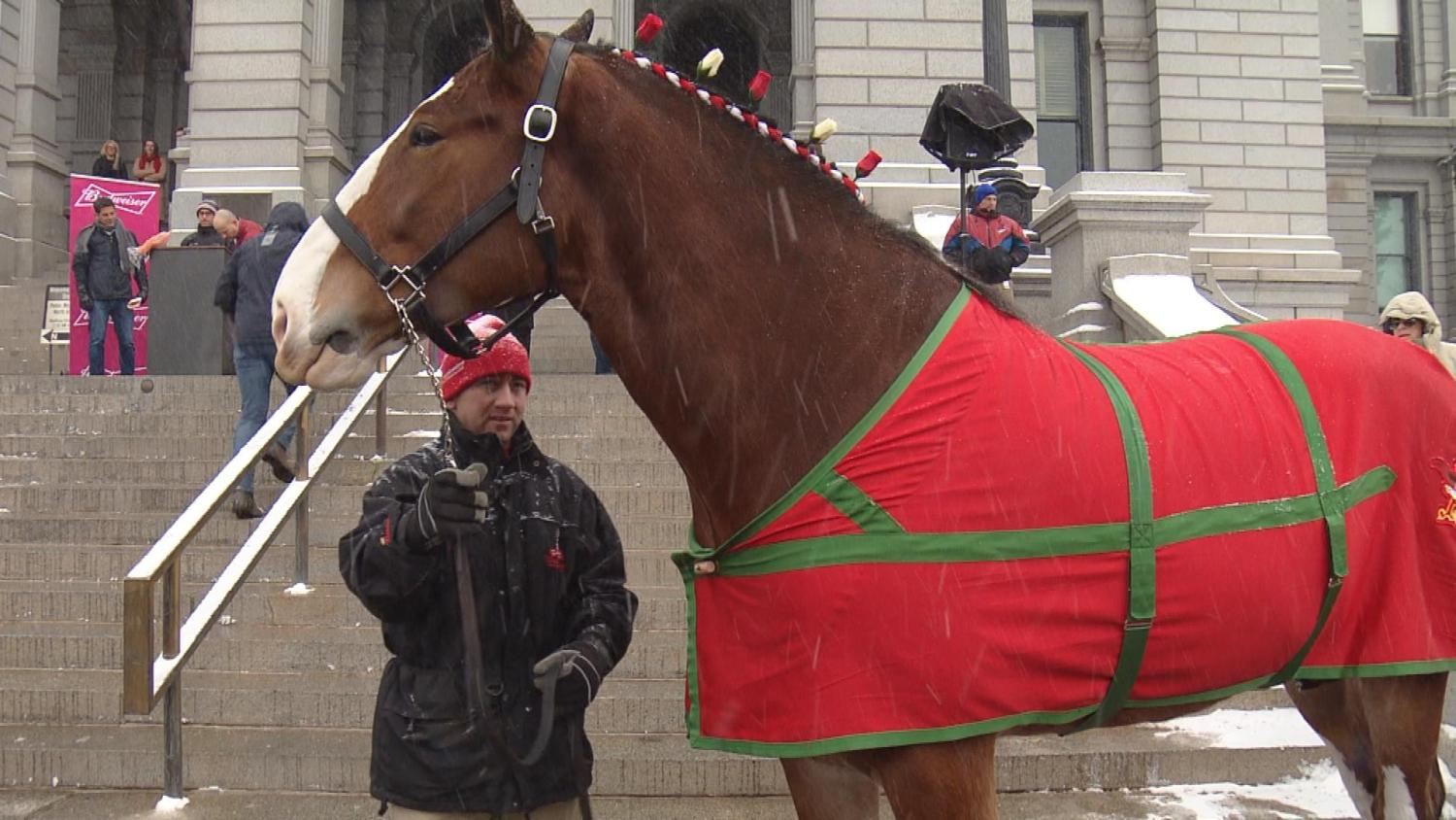 Budweiser Clydesdales Visit Colorado Capitol To Celebrate Full-strength Beer Ingroceries photo