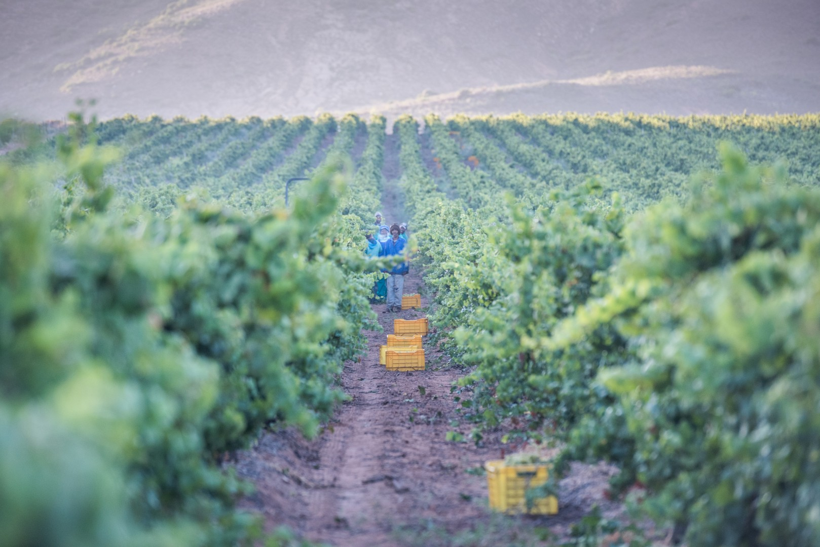 Cool Chardonnay Harvest on De Wetshof Sees Excellent Quality in Lower Yields photo